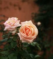 mamounia rosa