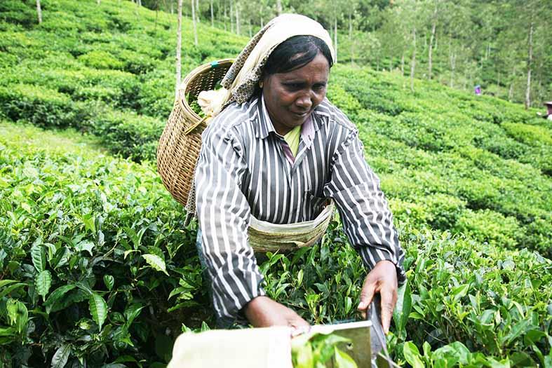 Plantación de Té.